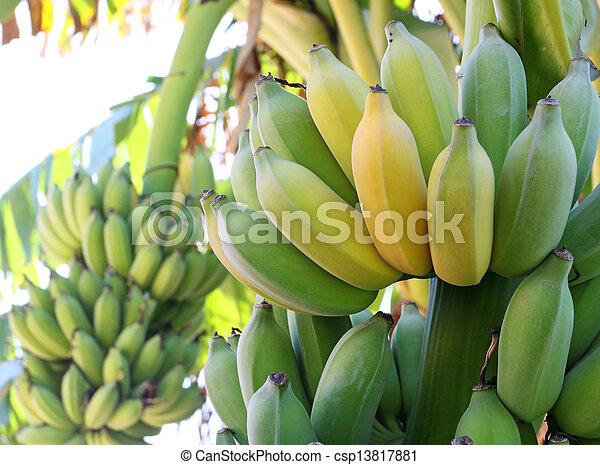 Bunch of ripening bananas on tree - csp13817881