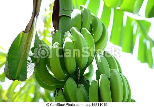 Bunch of ripening bananas - csp15811019