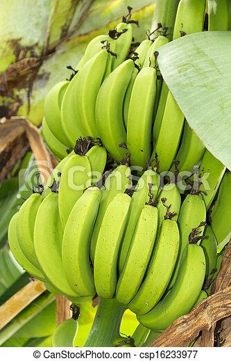 Bunch of ripening bananas - csp16233977