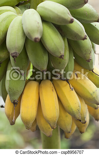 Bunch of ripening bananas - csp8956707
