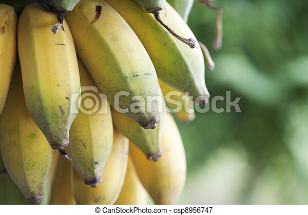 Bunch of ripening bananas - csp8956747