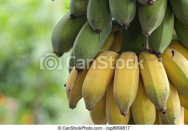 Bunch of ripening bananas - csp8956817