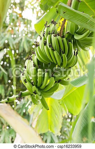Bunch of ripening bananas - csp16233959