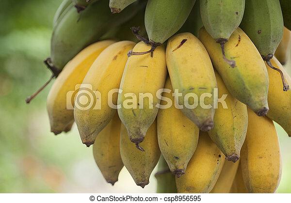 Bunch of ripening bananas - csp8956595