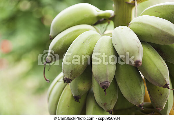 Bunch of ripening bananas - csp8956934