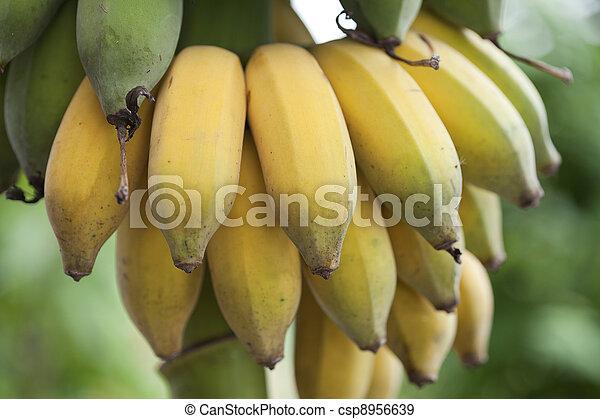 Bunch of ripening bananas - csp8956639