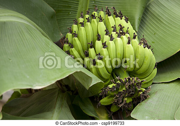 Bunch of ripening bananas - csp9199733