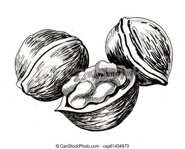 Bunch of walnuts. Ink black and white drawing of a three ...