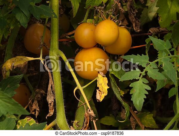 Bunch of yellow tomatoes - csp9187836