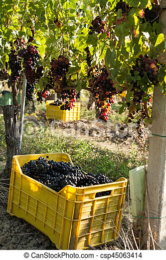 Bunches of grapes in crate - csp45063414