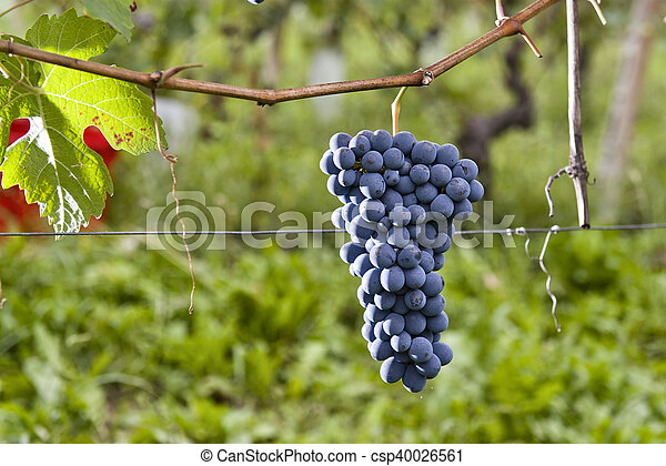 Bunches of grapes in Piedmont Italy - csp40026561
