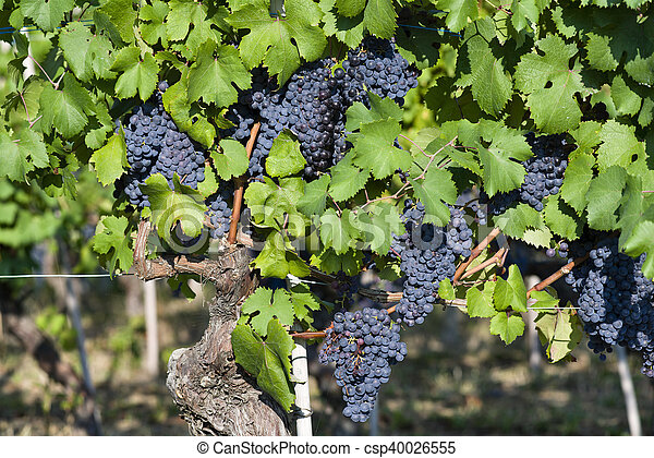 Bunches of grapes in Piedmont Italy - csp40026555