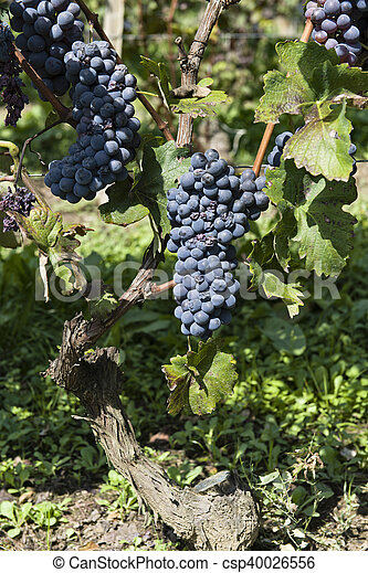 Bunches of grapes in Piedmont Italy - csp40026556