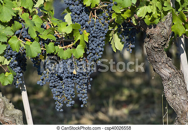 Bunches of grapes in Piedmont Italy - csp40026558