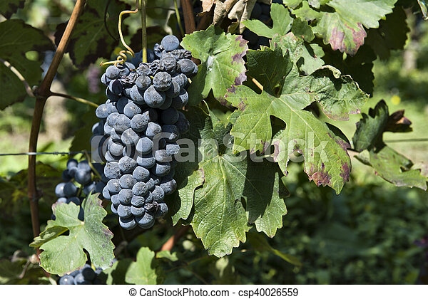Bunches of grapes in Piedmont Italy - csp40026559