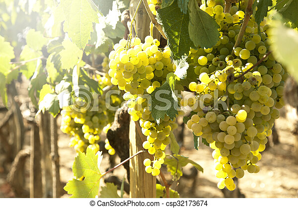 bunches of grapes in the vineyard - csp32173674