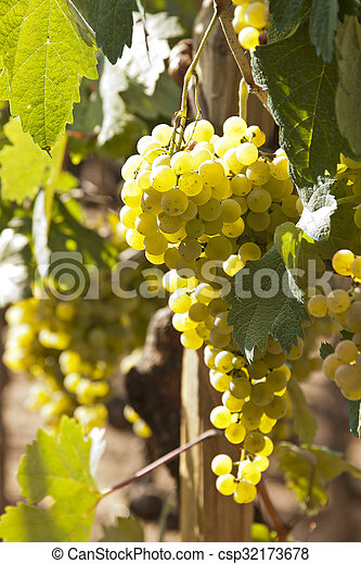 bunches of grapes in the vineyard - csp32173678