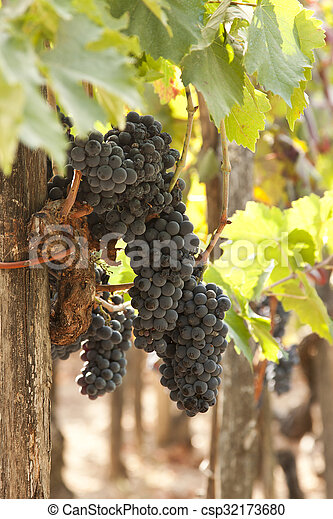 bunches of grapes in the vineyard - csp32173680