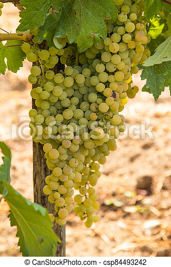 bunches of grapes in the vineyard - csp84493242