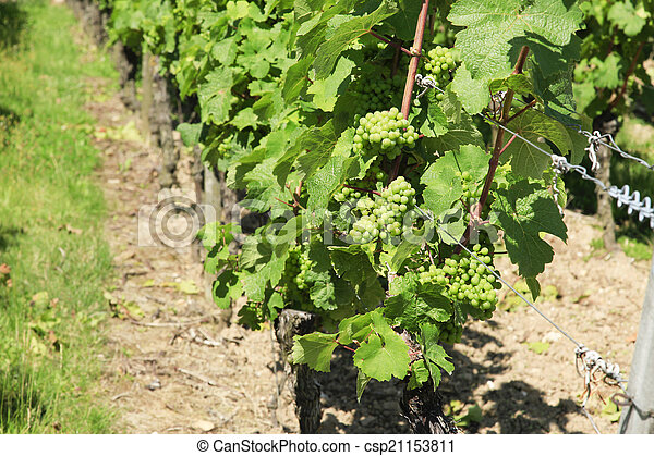 Bunches of grapes on the vine - csp21153811