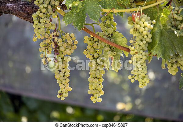 Bunches of grapes ripening in the sun in Italy - csp84615827