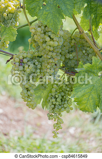 Bunches of grapes ripening in the sun in Italy - csp84615849