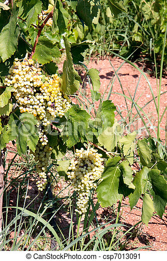 Bunches of grapes ripening in the sun - csp7013091
