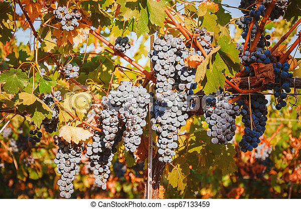 Bunches of grapes - csp67133459