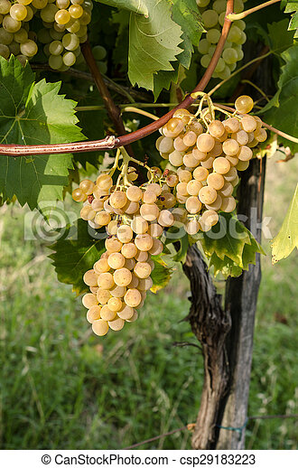bunches of grapes - csp29183223