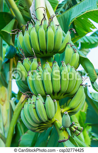 Bunches of green bananas growing in a tropical rain forest - csp32774425