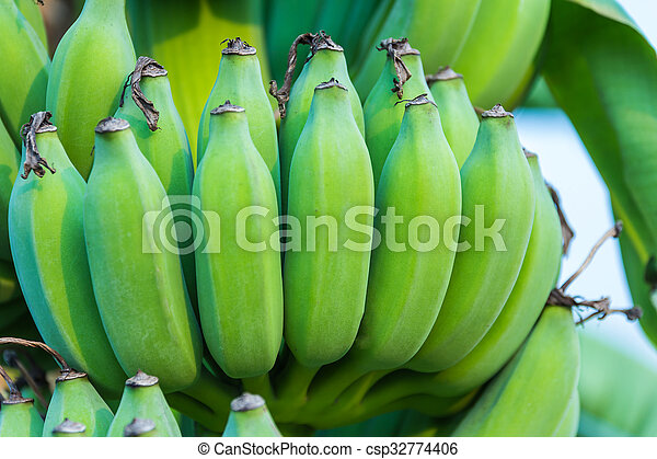 Bunches of green bananas growing in a tropical rain forest - csp32774406