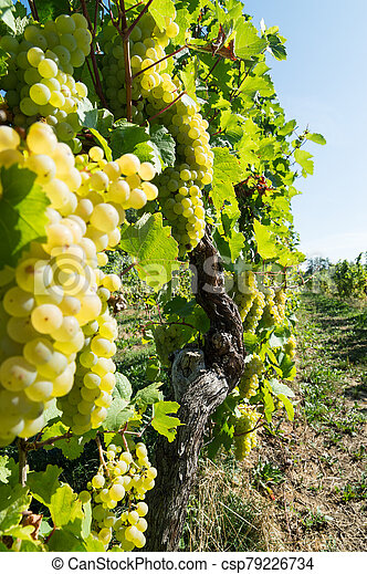 Bunches of green grapes in autumn - csp79226734