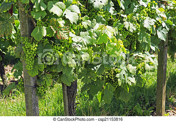 Bunches of green grapes on the vine - csp21153816