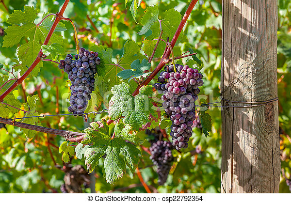 Bunches of ripe grapes in Italy. - csp22792354