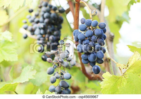 Bunches of ripe grapes in the garden - csp45609967