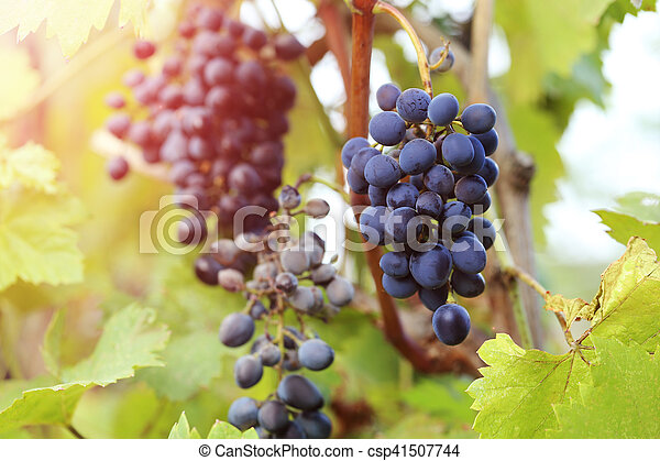 Bunches of ripe grapes in the garden - csp41507744