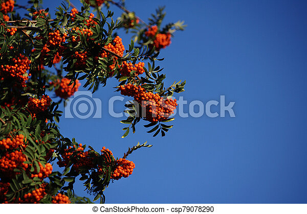 Bunches of ripe mountain ash against the blue sky. Shrub with orange berries. - csp79078290