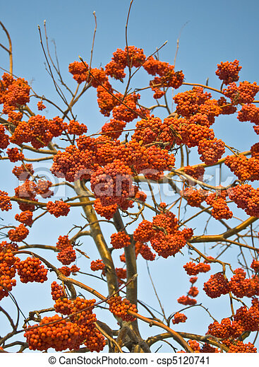 Bunches of ripe mountain ash in the city park. Autumn. Against the blue sky. - csp5120741