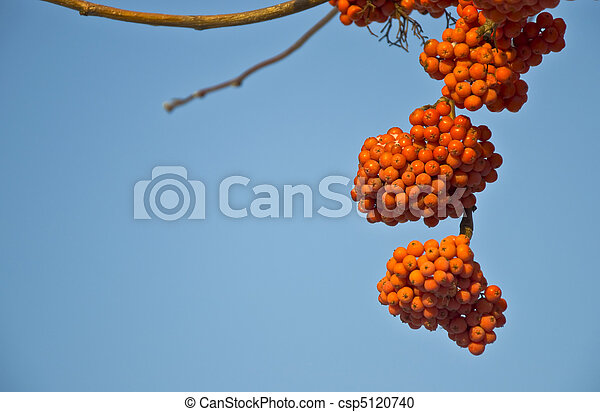 Bunches of ripe mountain ash in the city park. Autumn. Against the blue sky. - csp5120740