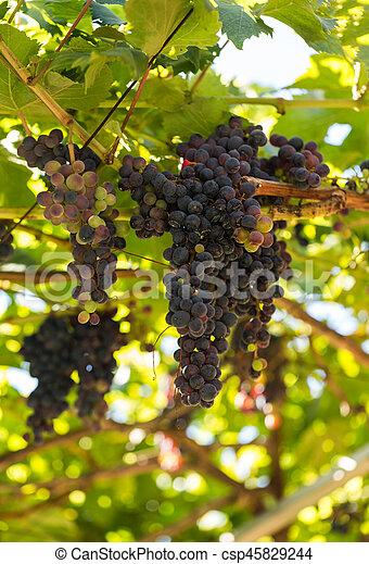 Bunches of Tinta Negra Mole grapes on pergola in Estreito de Camara  de Lobos on Madeira. Portugal - csp45829244