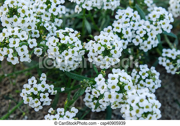 Bunches of white flowers bunches of white small flowers stock bunches of white flowers csp40905939 mightylinksfo Choice Image