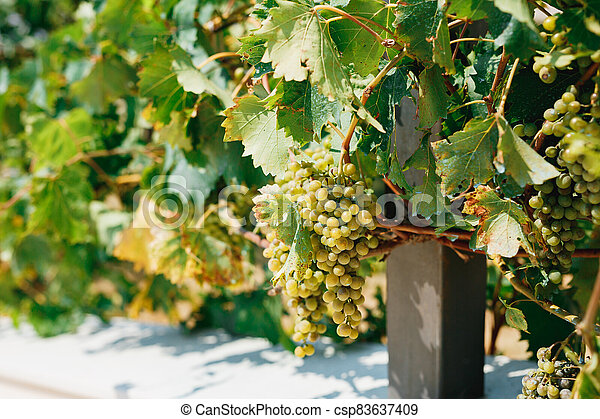 Bunches of white grapes in leaves in the sun - csp83637409