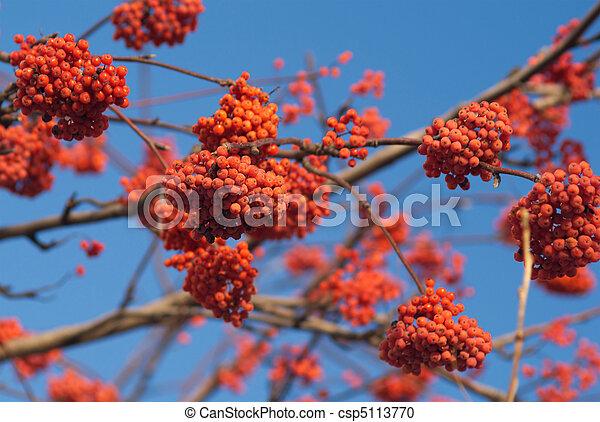 bunchs, muitos, árvore, rowan, ramo, bagas, vermelho - csp5113770