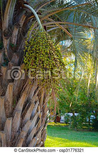 Bundle of green ripe fruit on the palm - csp31776321