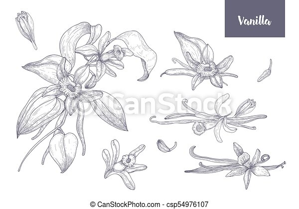 Bundle of natural drawings of vanilla plants with fruits or pods, blooming flowers and leaves isolated on white background. Monochrome vector illustration hand drawn in vintage engraving style. - csp54976107