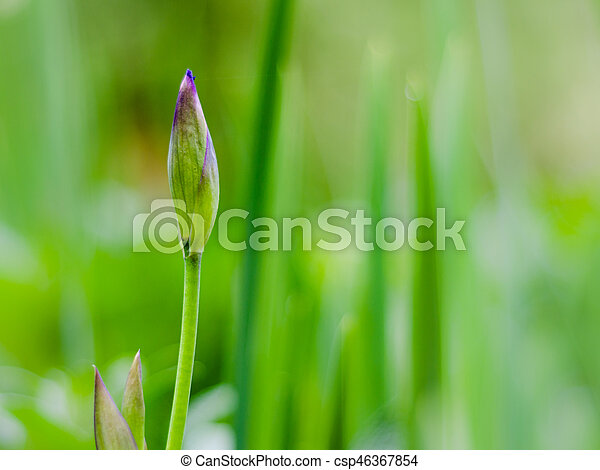 burgeon of blue iris with blurred green background - csp46367854