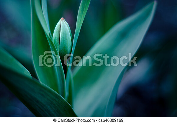 burgeon of tulip with soft focus and blurred background - csp46389169