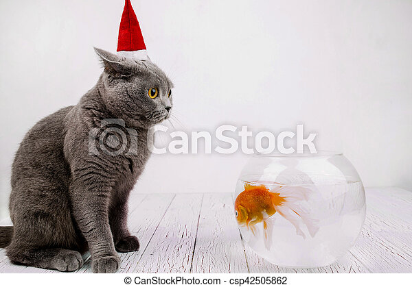 Burly British Shorthair cat in red Christmas hat sits on the floor before  aquarium with golden fish