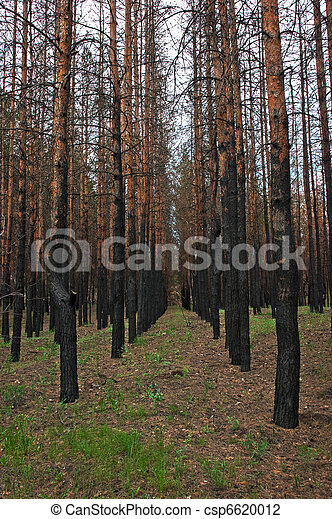 burned pine forest - csp6620012
