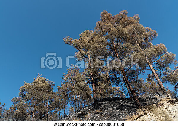 Burned Pine trees after forest fire - csp38631658